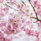 12時間で咲くMagic桜の作り方やコツをご紹介!【不思議なおもちゃ】